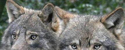 Ver las orejas a la loba